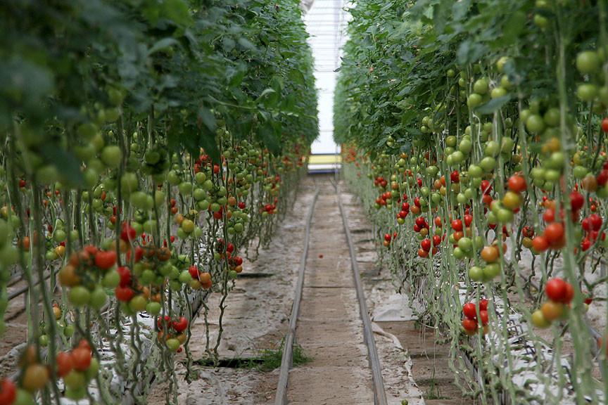 İlgi hindistan cevizi kabuğunda üretilen domateste