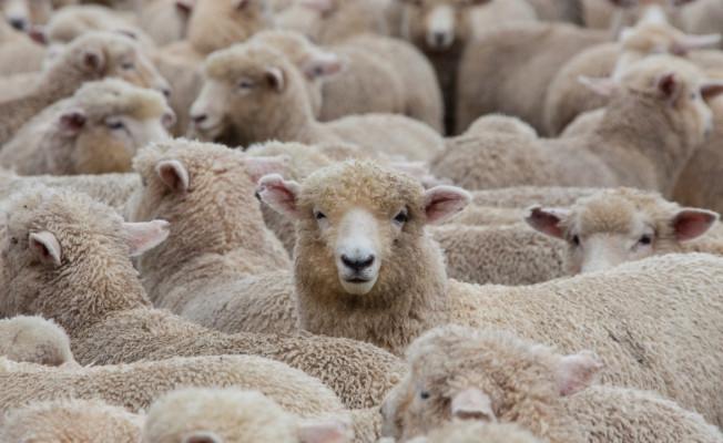 300 koyun projesinin göçleri durduracağı düşünülüy