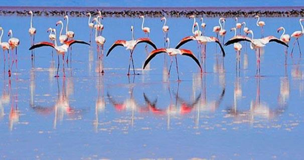 Tuz Gölü'nde yavru flamingo sayısı 11 bini geçti