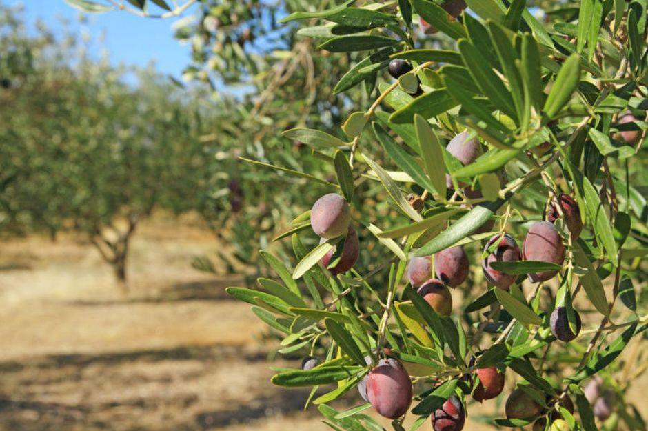 Sofralık zeytin ihracatı yüzde 14 arttı