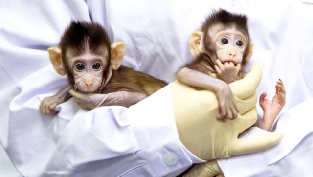 Bilim adamları maymun klonlamayı başardı