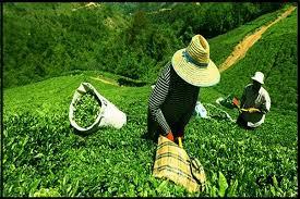 Yaş çay destekleme bedeli üreticilerin hesapların