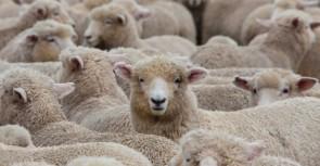 Tigem'in 300 koyun müracaatı başladı